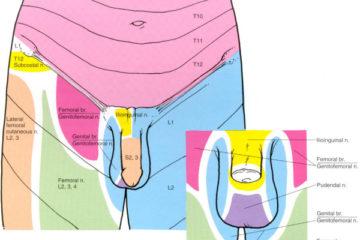 """Attēlu rezultāti vaicājumam """"genitofemoral nerve"""""""