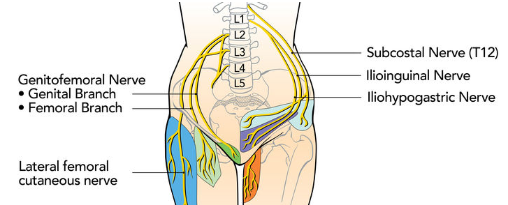 genitofemoral nerve - anatomy, functions, pain, symptoms, causes, Muscles