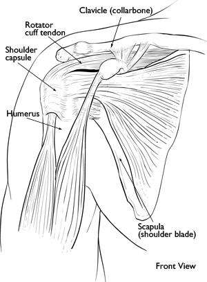 Shoulder muscles