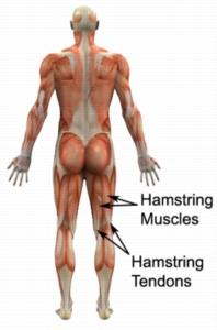 Hamstring Tendonitis Anatomy